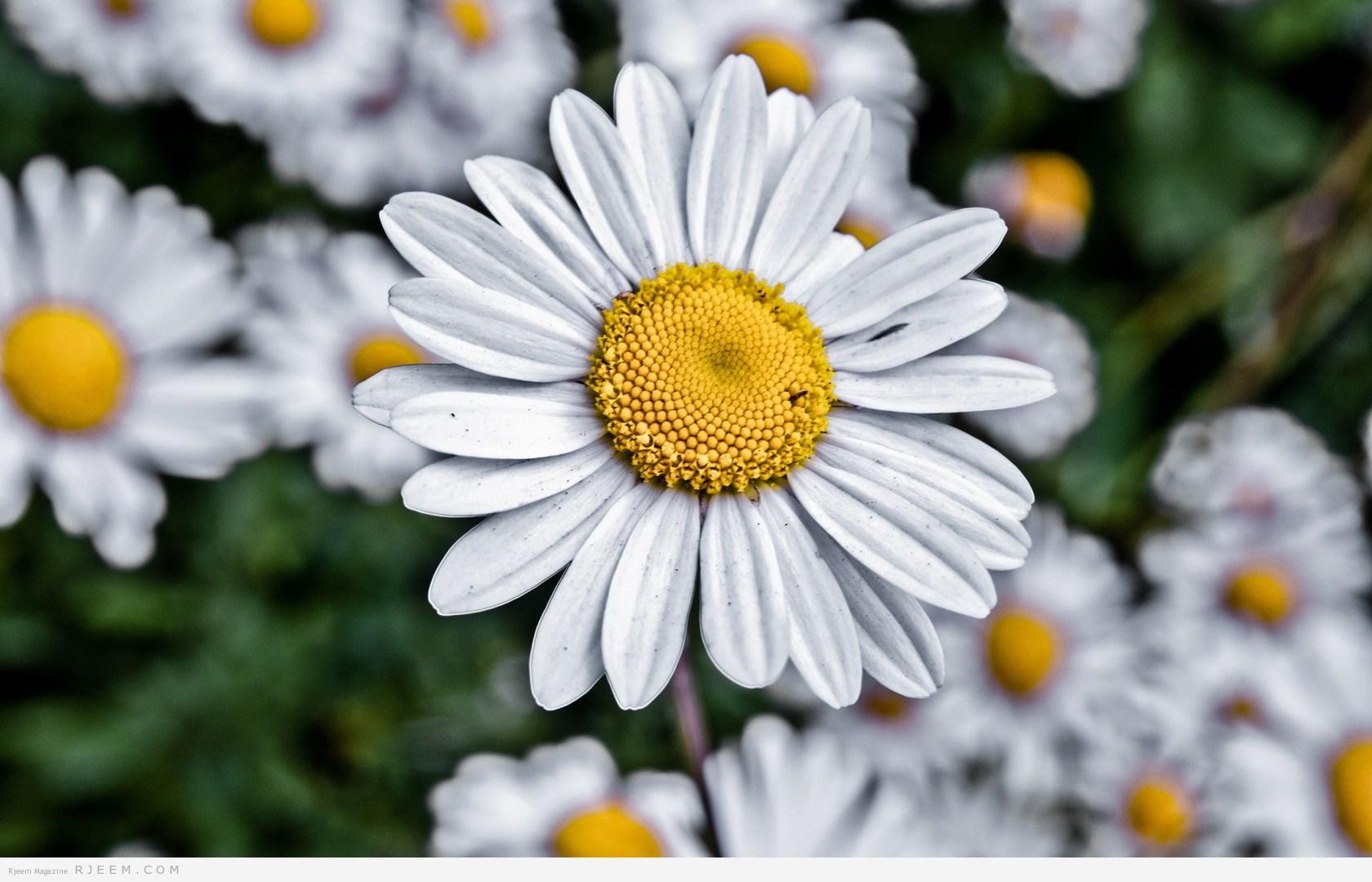شكل زهرة البابونج