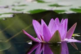 ما هي زهرة اللوتس