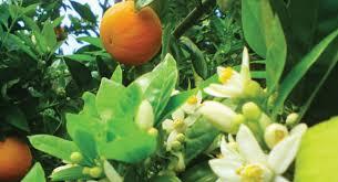 زهر الليمون للحلويات