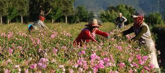 طرق قطف الزهور