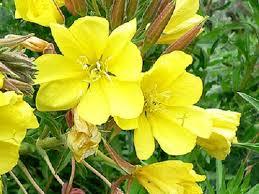 أضرار حبوب زهرة الربيع المسائية