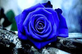 معنى الوردة الزرقاء – ماذا تعنى الوردة الزرقاء