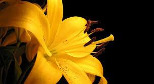 ما معنى الوردة الصفراء