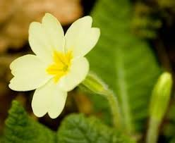 فوائد فيتامين زهرة الربيع المسائية