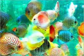تربية سمك الزينة
