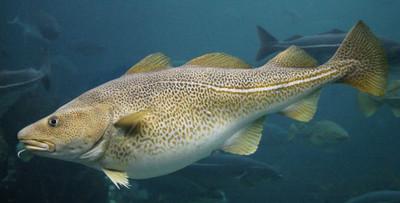 معلومات عن سمك القد – ما هو سمك القد؟