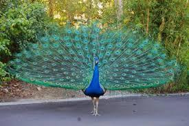 صفات طائر الطاووس – جميع معلومات عن طائر الطاووس