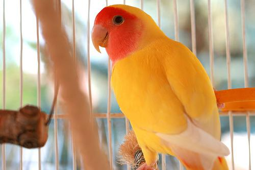 طريقة تربية طيور الفيشر