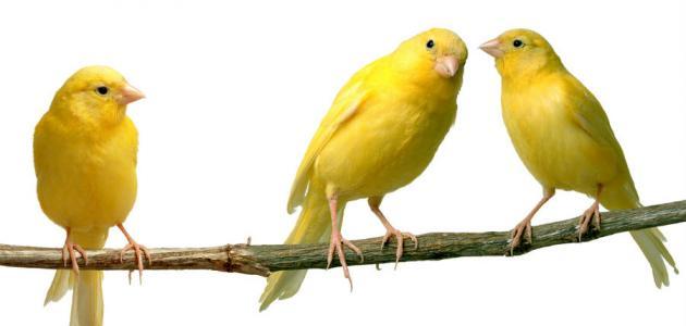 كيفيه تربيه عصافير الكنارى