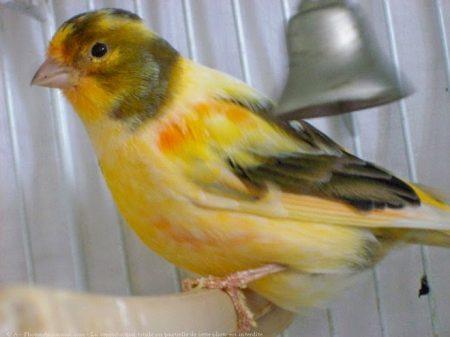 حياة طائر الكناري