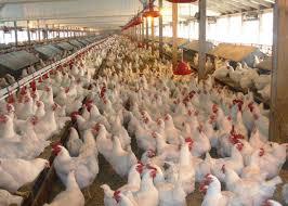 مواصفات الدجاج الجيد