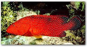 أنواع سمك البحر الأحمر