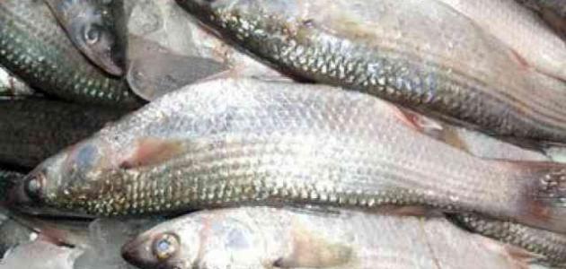 فوائد سمك البياض – ما هي اضرار سمك البياض